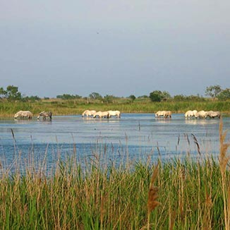 Camargue horses grazing in river