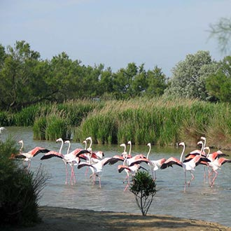 Camargue flamingos in river
