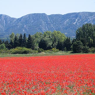 Camargue spring with poppy field and mountains