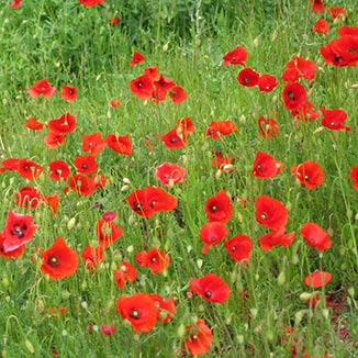 Chateauneuf-du-Pape poppies