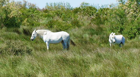 Camargue horses in field